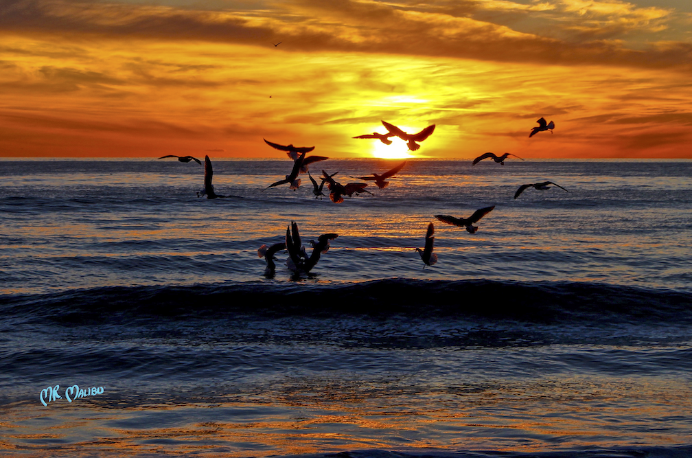 43 High Action Flock of Gulls at Sunset
